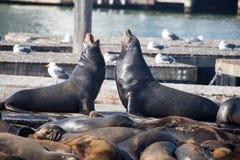 Männer des Kalifornischen Seelöwen (Otariinae) bellend an einander Stockfotos