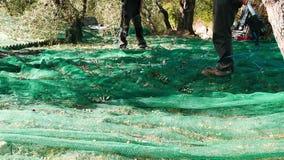 Männer, die Oliven auf dem Netz, Zeitlupe sammeln Landwirte, die in Ligurien-, Italien-, Taggiasca- oder Caitellier-Kulturvarietä stock footage