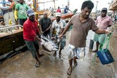 Männer entladen Thunfische von einem Fischenschleppnetzfischer in Negombo, Sri Lanka Lizenzfreie Stockfotografie