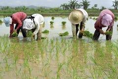 Männer und Frauen, die auf einem Reisgebiet arbeiten Lizenzfreies Stockbild