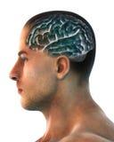 Människa Brain Anatomy Arkivfoto