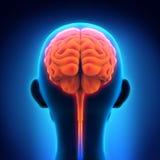 Människa Brain Anatomy Royaltyfria Foton