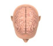 Människa Brain Anatomy Royaltyfri Bild