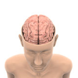 Människa Brain Anatomy Royaltyfri Fotografi