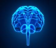 Människa Brain Anatomy royaltyfri illustrationer