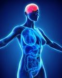 Människa Brain Anatomy Arkivfoton