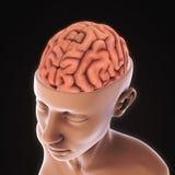 Människa Brain Anatomy Royaltyfri Foto