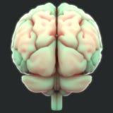 Människa Brain Anatomy Arkivbilder