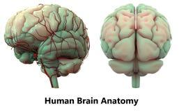 Människa Brain Anatomy Arkivbild
