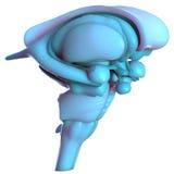 Människa Brain Inside Anatomy Royaltyfri Fotografi
