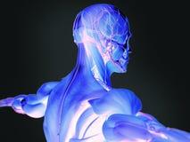 Människaanatomi i 3D Arkivfoton