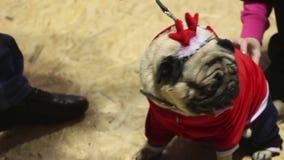 Människan räcker rörande trevlig mops försiktigt och att ta omsorg av djuret, förälskelse för hundkapplöpning stock video