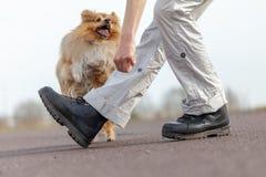 Människan utbildar hopp över ben med en shetland fårhund Arkivbilder