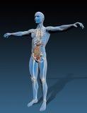 Människokropp med inre organ Arkivfoto