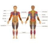 Människokropp muskel Arkivbild