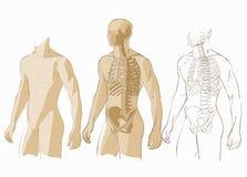Människokropp och skelett Royaltyfri Bild