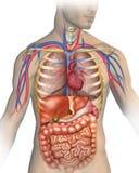Människokroppen vektor illustrationer
