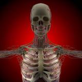 Människokroppen (organ) vid röntgenstrålar på röd bakgrund stock illustrationer