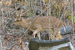 Männliche Achsen-Rotwild, die durch den Wald gehen Lizenzfreie Stockfotos