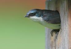Männliche Baum-Schwalbe in einem Nest Stockfotografie