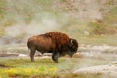 Männliche Bisonstellung nahe heißer Quelle in Yellowstone Nationalpark lizenzfreie stockbilder