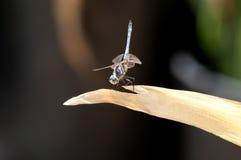Männliche blaue Dasher-Abstreicheisen-Libelle auf einem Blatt Stockfotos