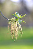 Männliche Blumen der Ahornasche Stockfotografie