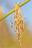 Männliche Blumen von Acer Negundo Stockfotos