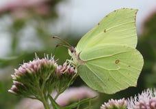 Männliche Brimstone-Schmetterlingsfütterung Lizenzfreie Stockfotos