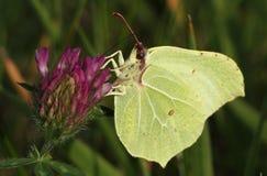 Männliche Brimstone-Schmetterlingsfütterung Stockbilder