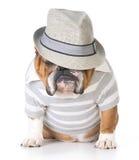 Männliche Bulldogge Stockfotos