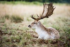 Männliche Damhirsche im wilden Wald stockfoto