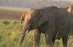 Männliche Elefanten Lizenzfreies Stockfoto