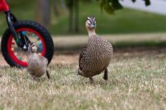 Männliche Ente und sein Entlein Lizenzfreies Stockfoto