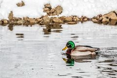 Männliche Entenschwimmen im Fluss Isar im Winter lizenzfreie stockfotos