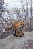 Männliche Fütterungstötung des roten Fuchses mäusezum jungen Jungen Stockfotografie