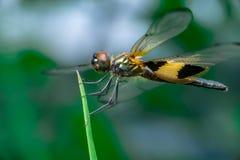 Männliche gelb-gestreifte flutterer Libelle stockfoto