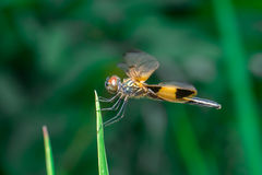 Männliche gelb-gestreifte flutterer Libelle lizenzfreies stockbild