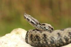 Männliche giftige europäische Schlange im natürlichen Lebensraum Lizenzfreie Stockfotografie