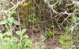 Männliche grüne Eidechse auf dem Boden Lizenzfreie Stockfotografie