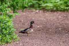 Männliche hölzerne Ente, die einen Weg kreuzt stockbilder