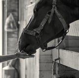 Männliche Hand, die ein Pferd mit einer Karotte auf der lokalen Ranch einzieht stockbild
