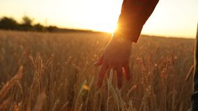 Männliche Hand, die eine goldene Weizenähre auf dem Weizengebiet, Sonnenunterganglicht, Aufflackernlicht berührt Unerkennbare Per stock video
