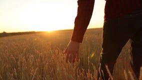 Männliche Hand, die eine goldene Weizenähre auf dem Weizengebiet, Sonnenunterganglicht, Aufflackernlicht berührt Unerkennbare Per stock video footage