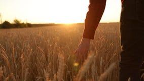 Männliche Hand, die eine goldene Weizenähre auf dem Weizengebiet, Sonnenunterganglicht, Aufflackernlicht berührt Unerkennbare Per stock footage