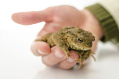 Männliche Hand, die einen Frosch hält Stockfotos