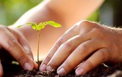 Männliche Hand, die jungen Baum über grünem Hintergrund pflanzt Lizenzfreie Stockfotografie