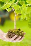 Männliche Hand, die kleinen Baum mit Wurzeln hält Stockbild