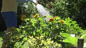 Männliche Hand mit Bewässerungssonnenblumenblume des blauen Wasserkanisterwerkzeugs blüht im Sommerzeitgarten 4K stock video footage