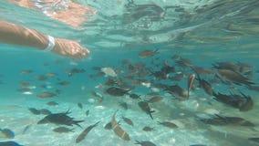 Männliche Handfütterungsfische stock video footage